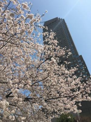 桜ブログ8